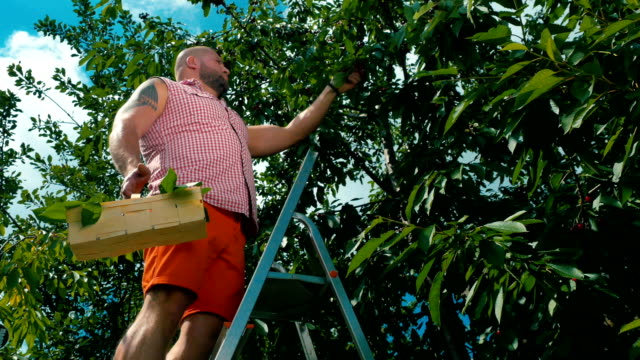 Man-stands-on-the-stairs-and-gathers-a-cherries-from-a-tree-in-garden
