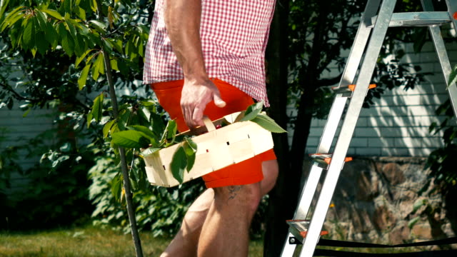 The-man-climbs-the-stairs-in-the-garden-with-basket-of-cherry