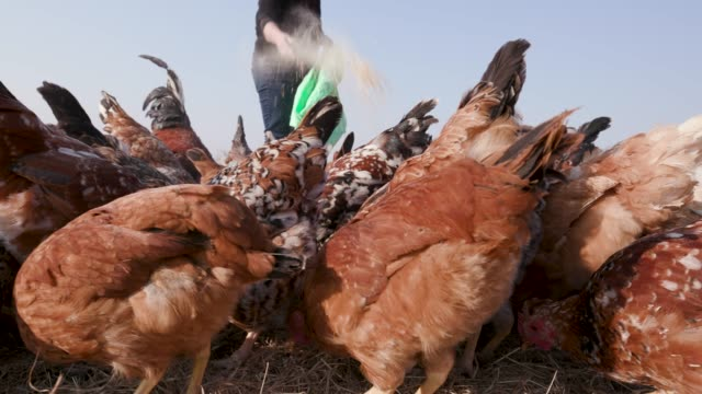 Close-up-of-free-range-chickens-being-fed-corn-from-a-sack