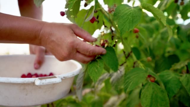 Close-up-of-a-female-hand-that-gently-snaps-off-a-ripe-raspberries-from-a-bush-in-daylight-harvesting-raspberries-on-a-plantation-raspberry-picker