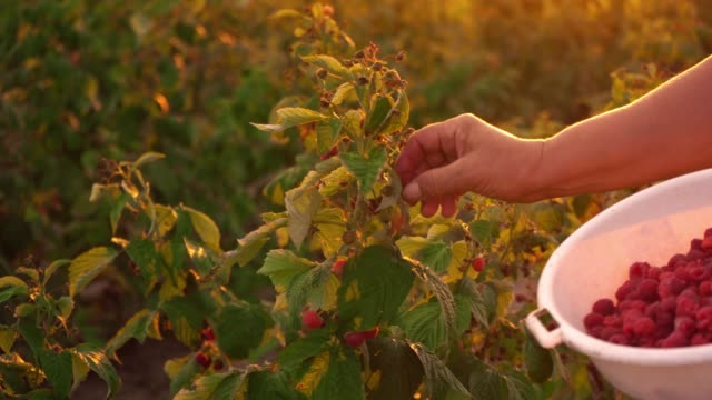Close-up-of-a-female-hand-that-gently-snaps-off-a-ripe-raspberries-from-a-bush-on-a-sunset-background-harvesting-raspberries-on-a-plantation-raspberry-picker