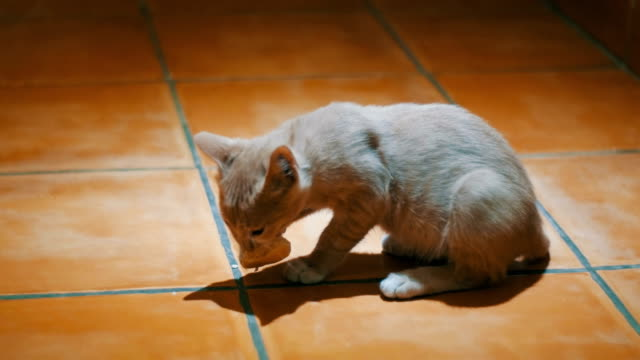Homeless-kitten-eagerly-eats-a-piece-of-bread-on-the-floor-at-home