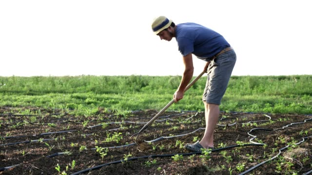 Farmer-removes-weeds-by-hoe-in-corn-field-with-young-growth-at-organick-eco-farm