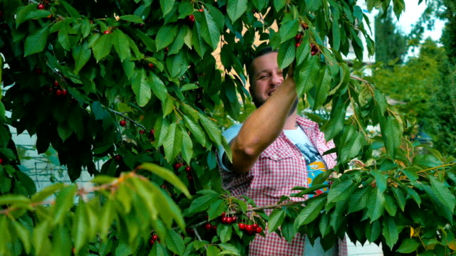 Young-guy-is-gathering-the-cherries-from-a-tree