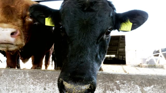 close-up-young-bulls-chew-hay-flies-fly-around-Row-of-cows-big-black-purebred-breeding-bulls-eat-hay-agriculture-livestock-farm-or-ranch-a-large-cowshed-barn