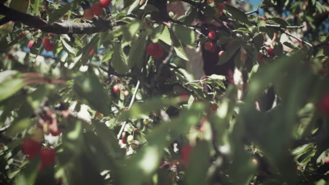 4K-Summer-Shot-Woman-in-Cherry-Tree