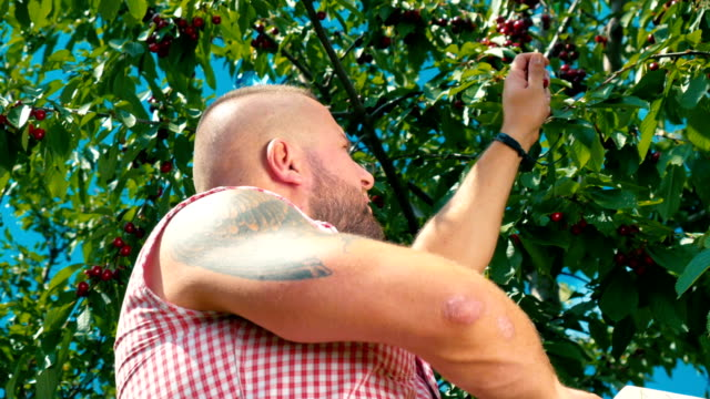 Muscular-man-with-tattoo-is-gathering-the-cherries-from-a-tree