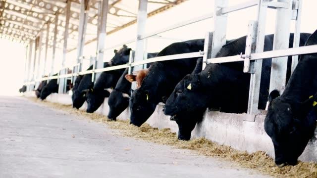 Landwirtschaft-Viehzucht-Farm-oder-Ranch-einen-großen-Kuhstall-Scheune-Zeile-der-Kühe-große-schwarze-reinrassige-Zuchtbullen-fressen-Heu