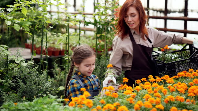 Pretty-woman-professional-florist-and-her-daughter-are-taking-pots-with-beautiful-flowers-from-plastic-container-putting-them-on-table-in-greenhouse-and-talking-