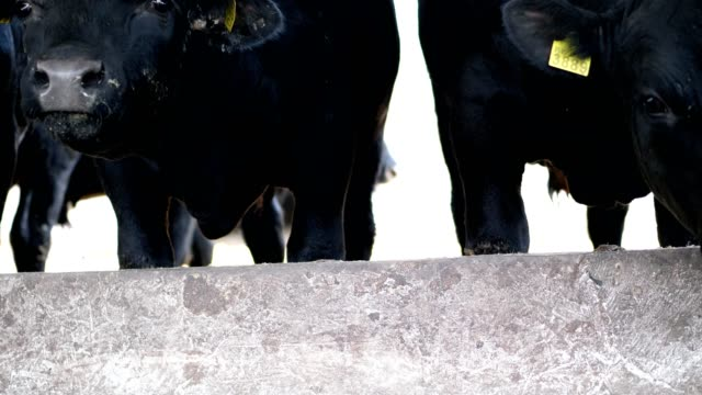 close-up-young-black-bulls-flies-fly-around-Row-of-cows-big-black-purebred-breeding-bulls-eat-hay-agriculture-livestock-farm-or-ranch-a-large-cowshed-barn