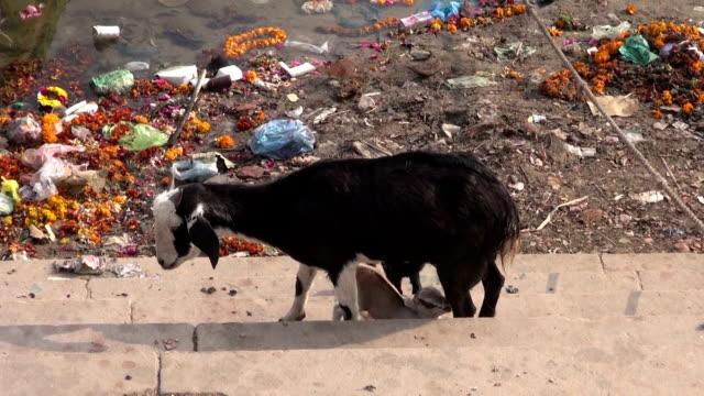 Niñera-cabra-alimentación-de-los-terneros-por-el-río-Ganges-en-varanasí-India