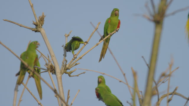 Group-of-parrots-standing-on-the-tip-of-the-branches-of-an-old-tree-no-leaves-in-winter-preparing-to-fly-with-a-blue-sky-background