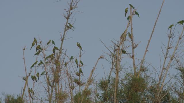 Grupo-de-parrots-flying-llegar-a-la-punta-de-las-ramas-de-un-viejo-árbol-sin-hojas-en-invierno