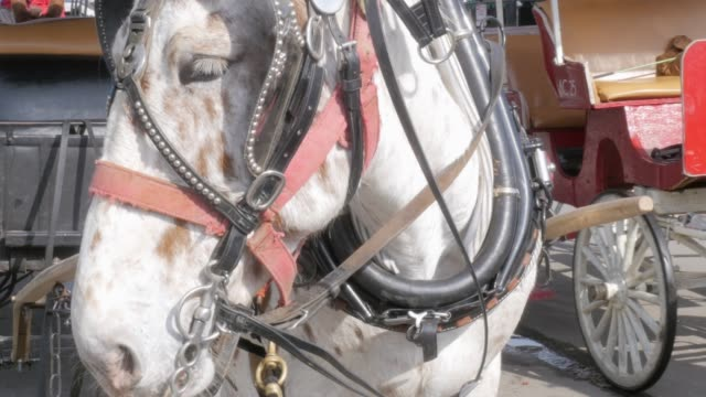 Draft-Horse-Hitched-to-a-Wagon-for-Horse-Drawn-Carriage-Tours-in-4k
