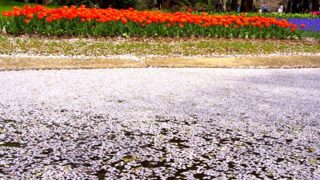 Cherry-Blossom-aka-Sakura-Leaf-Falling-on-the-Ground-in-the-water
