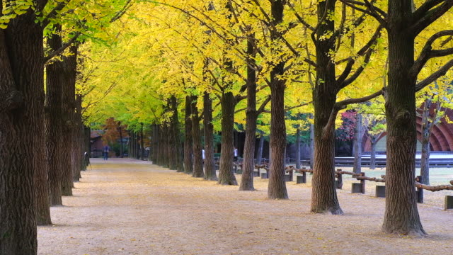 The-tree-tunnel-in-autumn-where-is-the-romantic-walkway-for-a-couple-to-walk-through-the-tunnel-South-Korea-or-Republic-of-Korea