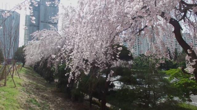Cherry-Brossom-Spring-Road-of-Haeundae-Busan-South-Korea-Asia
