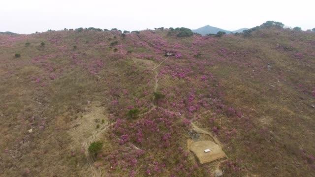Jindallae-Azalea-Blossom-Blooming-in-Biseul-Mountain-Daegu-South-Korea-Asia-when-Apr-26-2018Jindallae-Azalea-Blossom-Blooming-in-Biseul-Mountain-Daegu-South-Korea-Asia