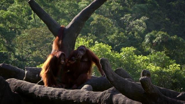 Movimiento-lento-de-orangután-de-madre-y-bebé-en-los-árboles-del-bosque