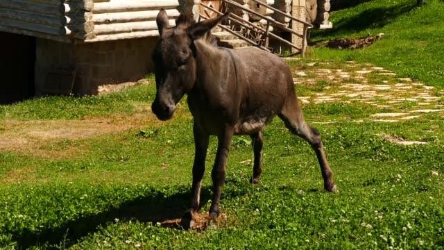 un-burro-haciendo-piss-vídeo-de-alta-definición-de-burro-