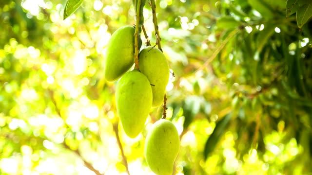 Frescos-mangos-en-el-árbol-en-el-jardín