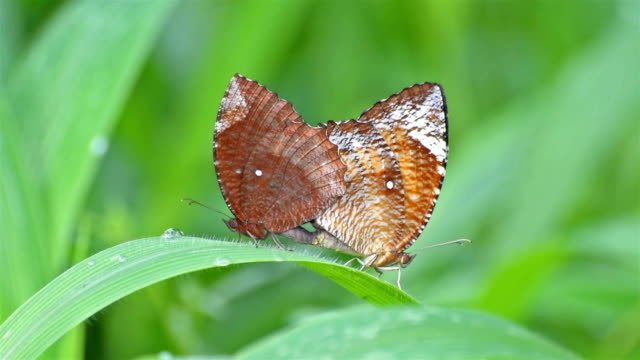 Butterflies-making-love-on-green-leaf-nature-stock-footage