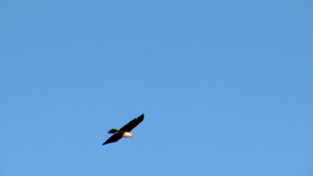 Eagle-impresionante-a-cielo-despejado-milano-bramánico-calvos-Sea-Hawk