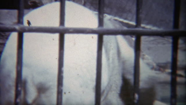 1973:-los-osos-polares-luchan-en-pluma-pequeño-zoológico-