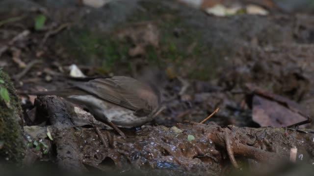 Black-throated-thrush-(Turdus-atrogularis)-Drinking-water