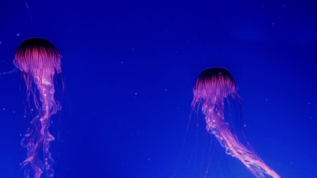 Red-glowing-jellyfish-moving-in-the-dark-blue-water-
