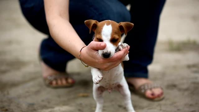 Fröhliche-Welpen-Jack-Russell-terrier