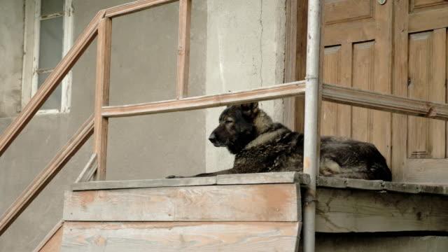 Angry-dog-guards-the-house-on-the-steps-Mestia-Georgia