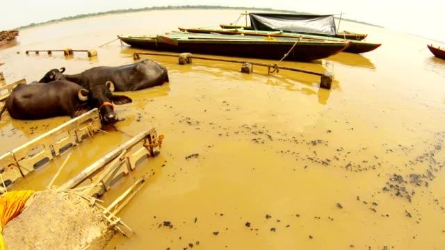 Dos-bufalos-asiento-en-el-río-ganga-negro-brasas-flotan-en-botes-de-agua-marrón-en-el-muelle-inundado-Manikarnika-cremación-Ghat