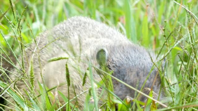 Groundhog-comer-hierba-en-las-montañas-Blue-Ridge-cerca-de-la-ciudad-de-Asheville