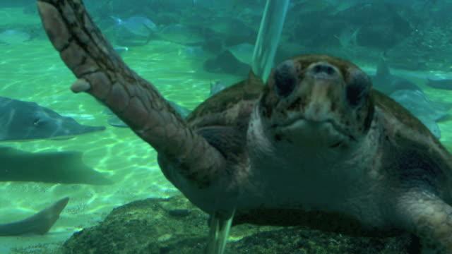 Green-Sea-turtle-y-tiburón-nadar-bajo-el-agua-05