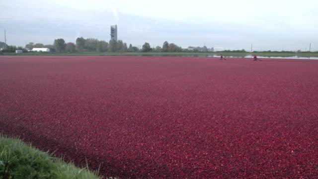 Flooded-Cranberry-Bog-Ready-for-Harvest