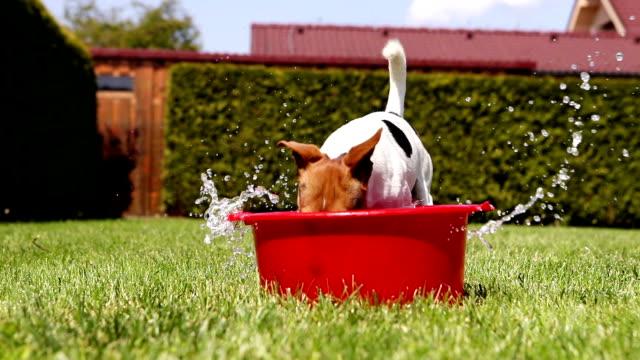 Divertido-Jack-Russell-toma-un-baño-en-el-patio-de-la-casa-verde-hierba