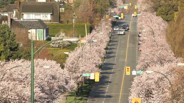 Vancouver-Street-Cherry-Blossoms