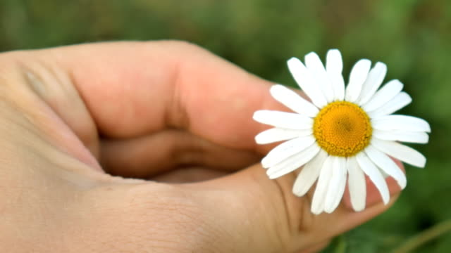 The-girl-is-holding-a-daisy-flower-and-twisting-it-