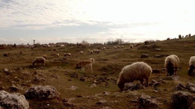 Schäferhund-und-Schafherde-auf-dem-Hügel-und-Ruinen-am-Rande-einer-alten-arabischen-Stadt-im-Süden-der-Türkei