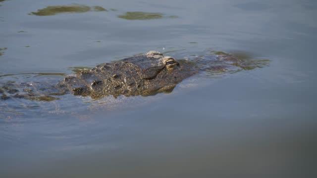 Solo-cocodrilo-flotando-en-agua