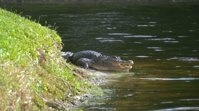 Colocación-de-cerca-de-un-estanque-con-su-boca-abierta-del-cocodrilo