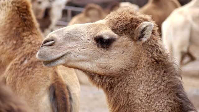 Herd-of-camels-in-4k-slow-motion-60fps
