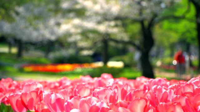 Beautiful-Tulip-Pink-in-Japan