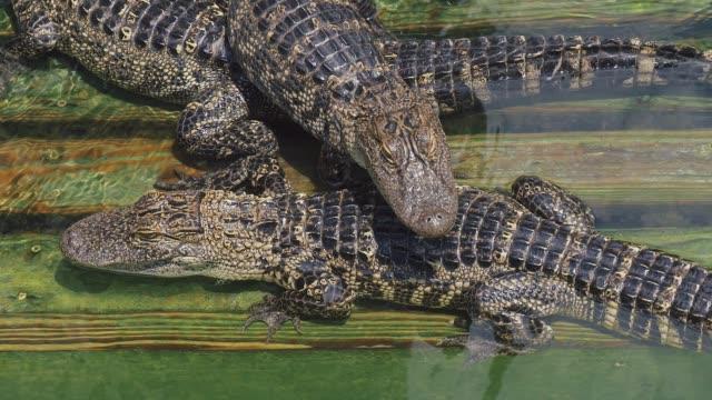 Krokodil-auf-dem-Bauernhof-viele-Aligators-wütend-Hintergrund