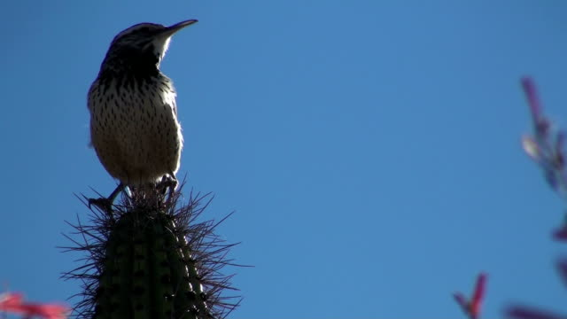 Cactus-Wren-perched-on-spikes