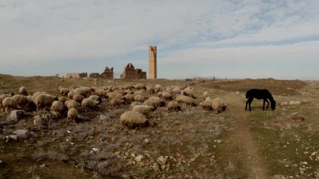 Schafherde-angeführt-von-einem-Pferd-Ruinen-der-Datum-Harran-Universität