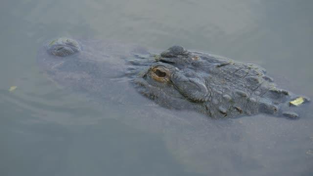 Cocodrilos-en-un-pantano-en-Florida