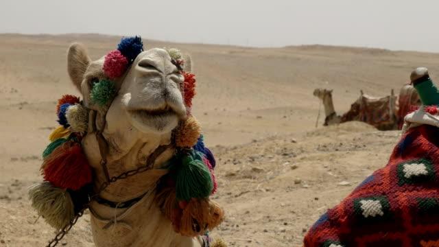 Nahaufnahme-von-einem-Kamel-Kopf-bei-den-Pyramiden-in-der-Nähe-von-Kairo-Ägypten