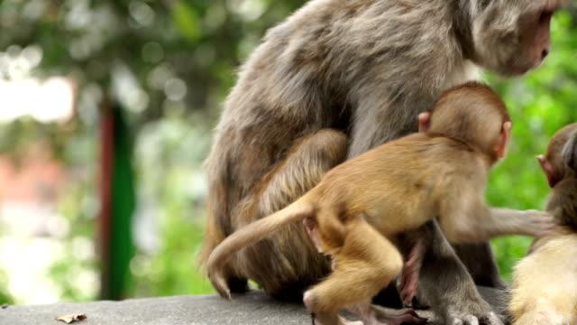 Affen-in-der-Stadt-Kathmandu